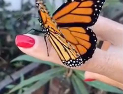 Monarch Butterfly Tribute