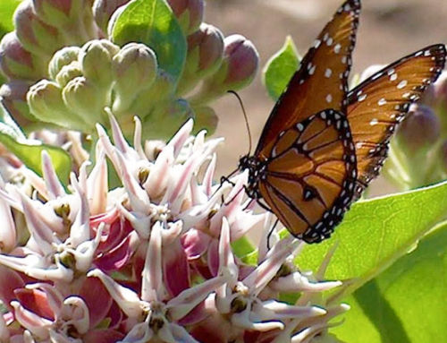 Breathtaking Monarch's Habitat