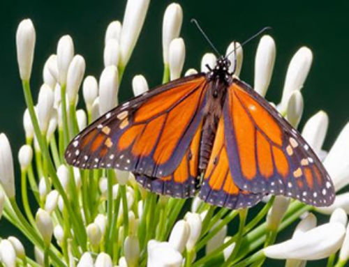State Butterfly