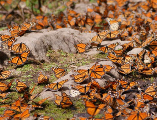 Millions of Monarchs in Mexico