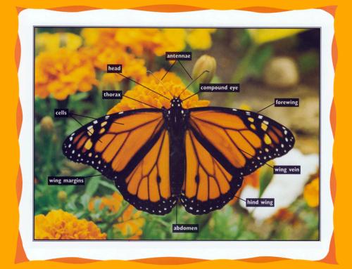 Identify Monarch Body Parts