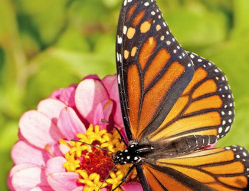 Monarchs & Flower Gardens