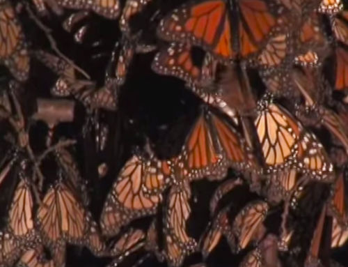 Papalotzin – The flight of the Monarch Butterfly