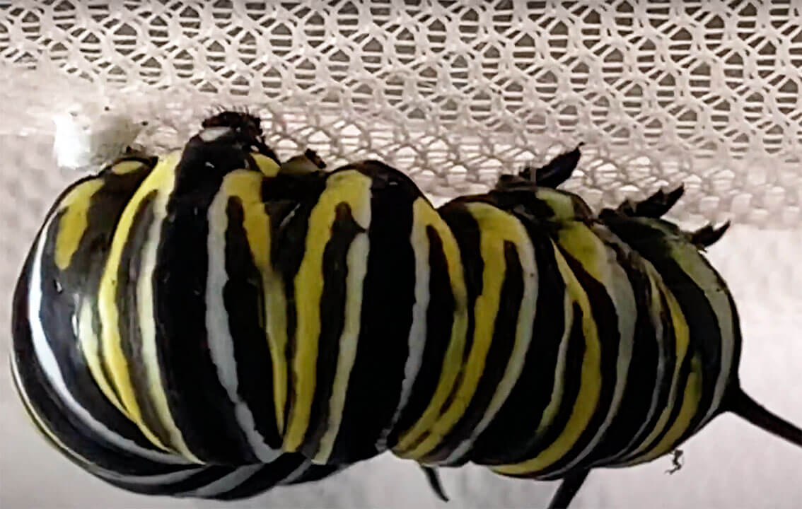 Monarch larvae attaching to its silk pad